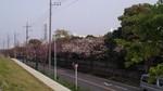 浄水場の八重桜